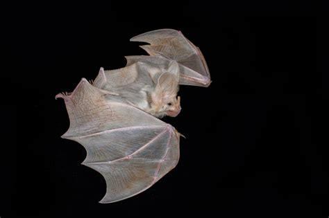 hearing protection mysterious and spectacular a stopping iconic bat