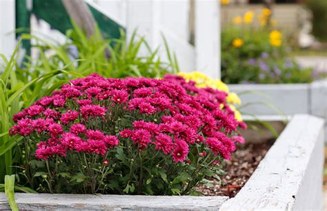how do mums live why don t hardy mums survive the winter gardening question
