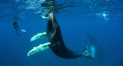Best Hd Whale Photo by Swimming With The Humpbacks Of Ha Apai Itinerary Map