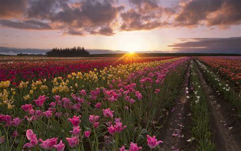 summer tulip flowers fields sun rays morning dawn