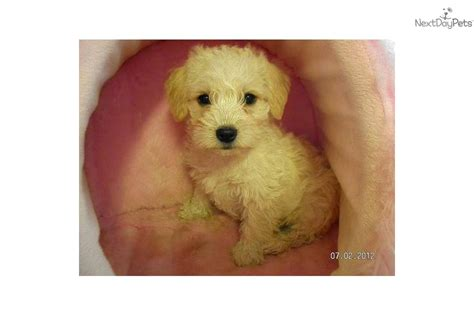 cutest non shedding dogs meet willow a schnoodle puppy for sale for 200 non