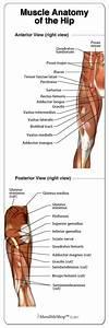 Muscle Anatomy Of The Hip   Hipanatomy