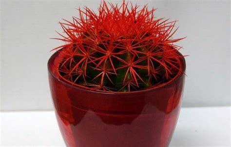 ลักษณะของการเจริญเติบโต echinocactus Freesia