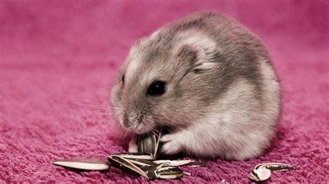 Cute Hamster Wallpaper ·① Wallpapertag