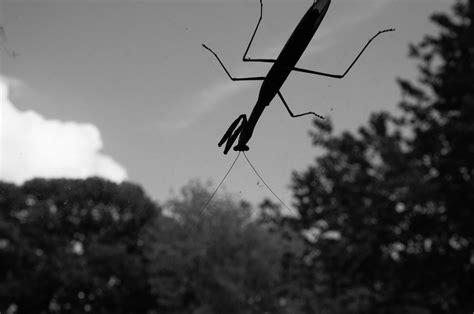 Black and White: Praying Mantis