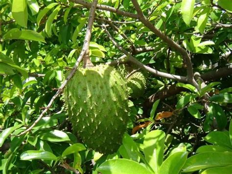 sour sop natural cancer remedy