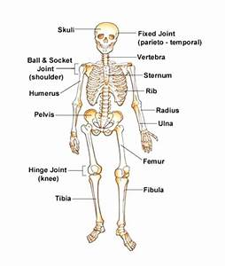 Diagram  Human Skeleton Diagram Labeled For Kids