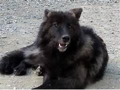 Black Wolf Hybrid Pupp...