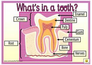 What U0026 39 S In A Tooth  By Bevevans22 - Teaching Resources