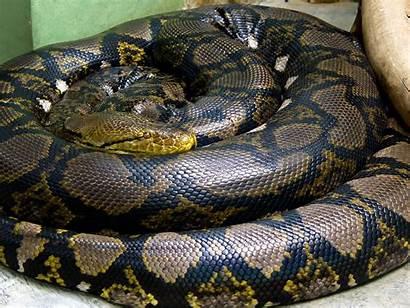 Anaconda Snake Circle Reptile Animals Wallpapers13