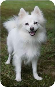 Ava | Adopted Dog | Westfield, NY | Pomeranian/American ...