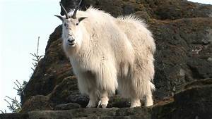 Mountain Goats Aren U2019t Actually Goats