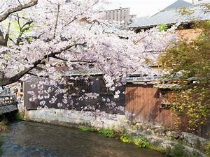 Kyoto, U2019s, Cherry, Blossoms, Spring, 2018