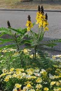 Cassia Popcorn Plant