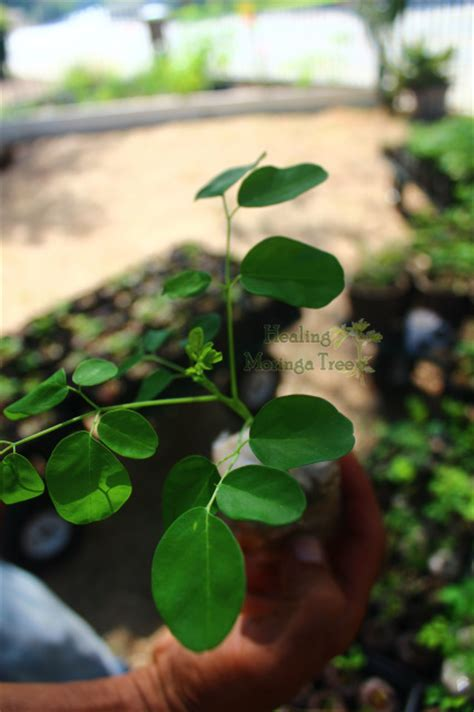 moringa trees tree bulk seedling pack seedlings organic healingmoringatree value oleifera p8 roots