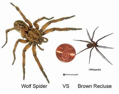 Recluse Spider Wolf Brown Spiders Vs Bites
