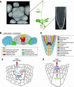 Plant Meristems  Tissue Structure  Cellular Organization