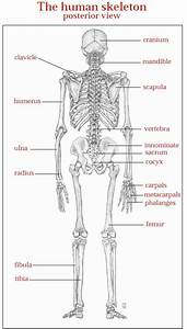 Dr Will Mccarthy U0026 39 S Science Site  The Skeletal System
