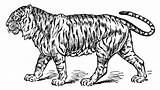 Tiger Coloring Line Drawing Clip Clipart Sweetclipart Getdrawings sketch template