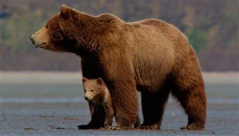 galeria de imagenes imagenes de osos