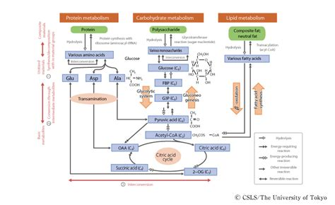 fig 4 3 schematic diagram of the basic metabolic pathway