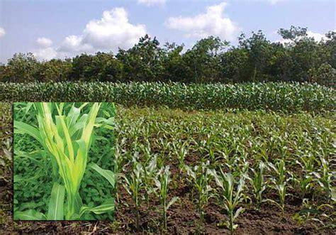 tips mengendalikan penyakit bulai jagung