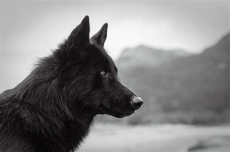 Die Besten 25+ Schwarzer Labrador Mischling Ideen Auf