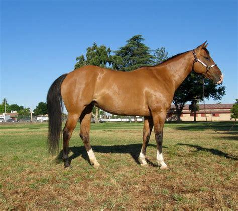 horses quarter height hh bobbie fresnostate jcast