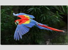 National Bird Of Honduras Scarlet Macaw 123Countriescom