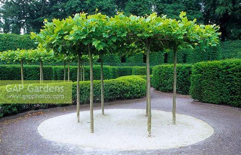 gap gardens table top pleached platanus plane trees
