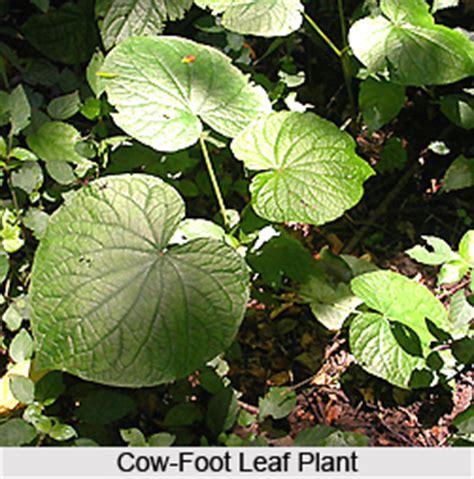 foot leaf plant indian medicinal plant