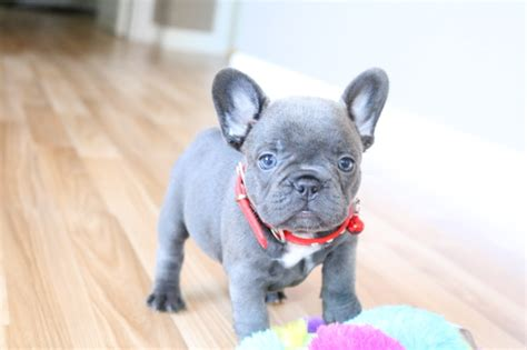 View Ad French Bulldog Puppy For Sale Washington Marysville Usa