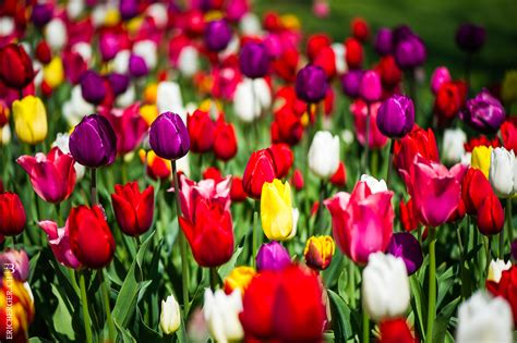 la tulipe nourishing eric berger photographe fête de la tulipe morges