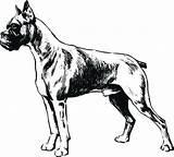 Coloring Boxer Dog Sketch Dane Printable Getcolorings sketch template