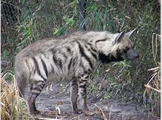 Striped HyenaLebanon National Animal Wallpapers9