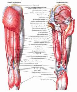 Posterior thigh muscles - My site Daot.tk