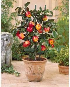 Arbres Fruitiers Nains En Pleine Terre : mini pommier 39 gala 39 willemse ~ Premium-room.com Idées de Décoration