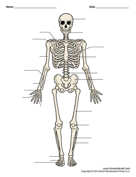 Simple Bone Diagram by Human Skeleton Unlabeled Tim S Printables