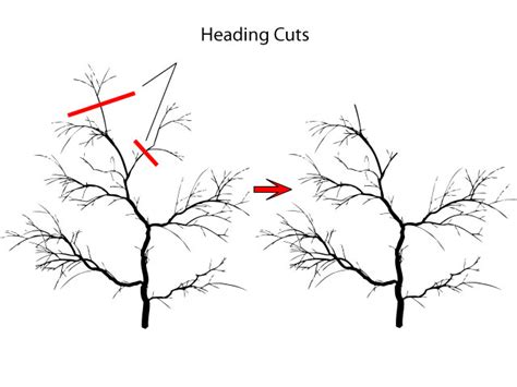 how to prune a crabapple tree pruning to reduce regrowth