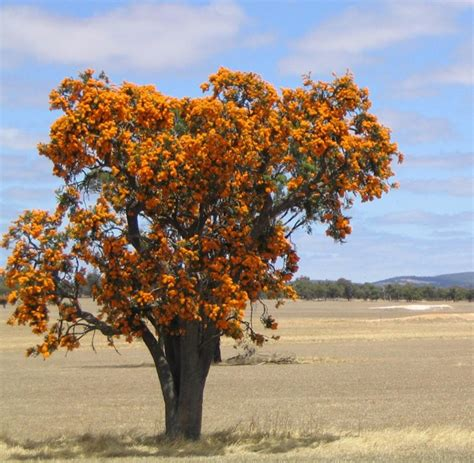 trees around walpole wa gardendrum - Australian Christmas Tree Native