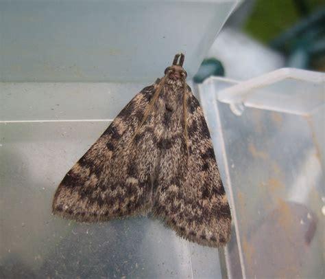 Little Moths In Bedroom Psoriasisgurucom