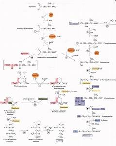 Chapter 21   Biosynthesis Of Amino Acids  Nucleotides  And