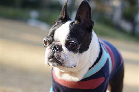Boston Terrier Health Facts Goldenacresdogs Com