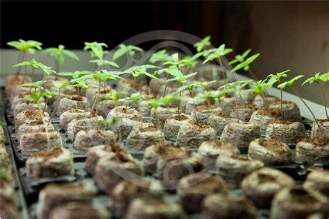 suivi de culture de cannabis el frutero 171 du
