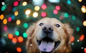 Golden Retriever Backgrounds | Full HD Pictures