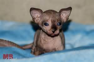 baby hairless cats baby sphynx cat mb fotografie awe