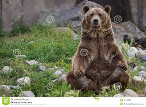 Grizzly Bear Sitting