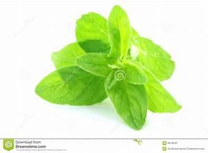 Oregano Leaf Royalty Free Stock Photography - Image: 36728797