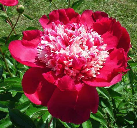 Peonijas   Flowers, Rose, Plants