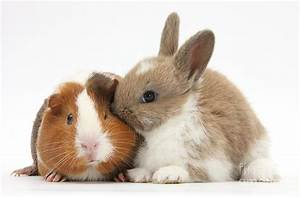 Baby Rabbit And Guinea Pig Photograph by Mark Taylor